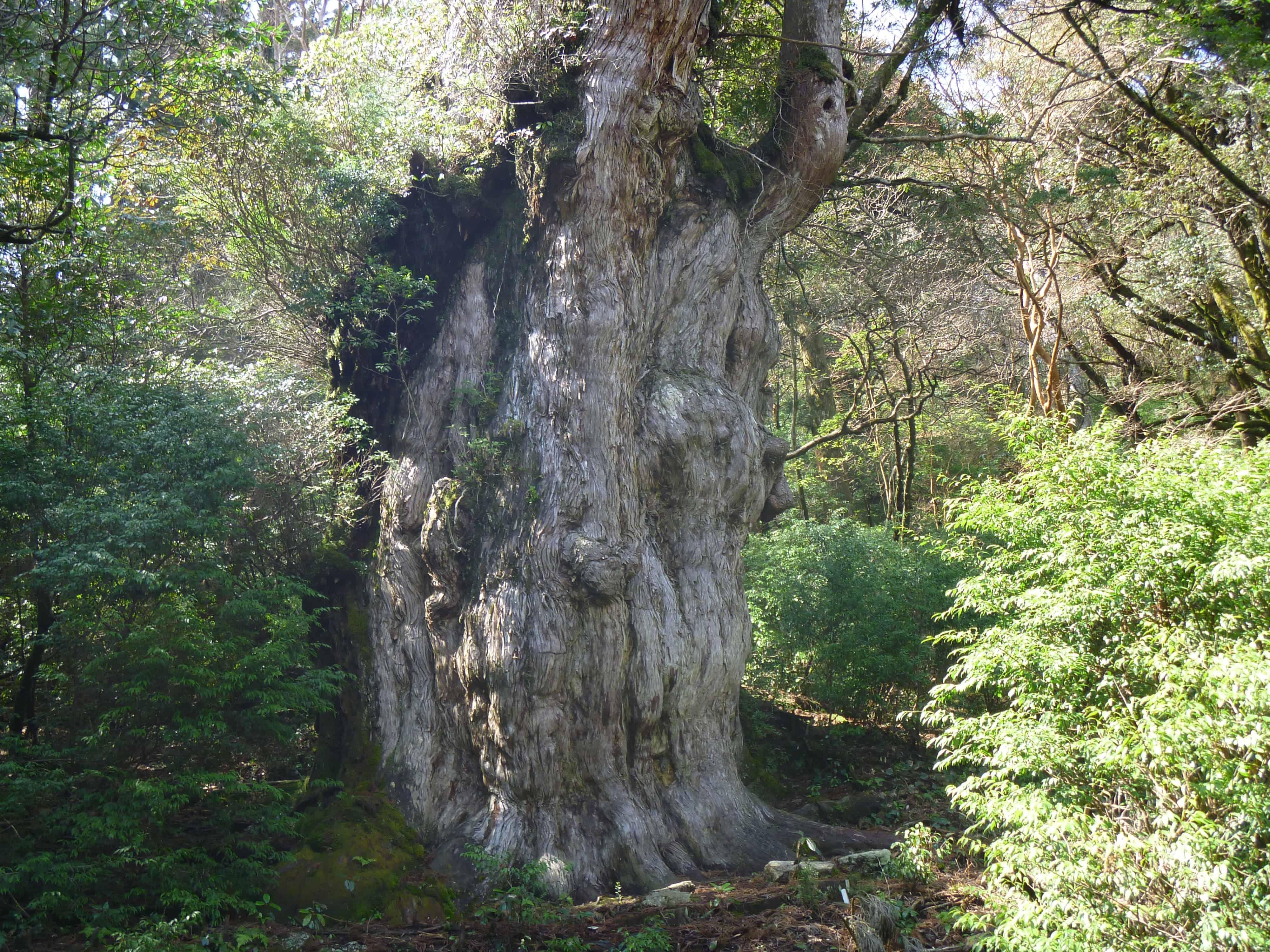 【屋久島】樹齢1000年を超える縄文杉を見に行くなら知っておきたい、自然の神秘スポットに関するまとめ